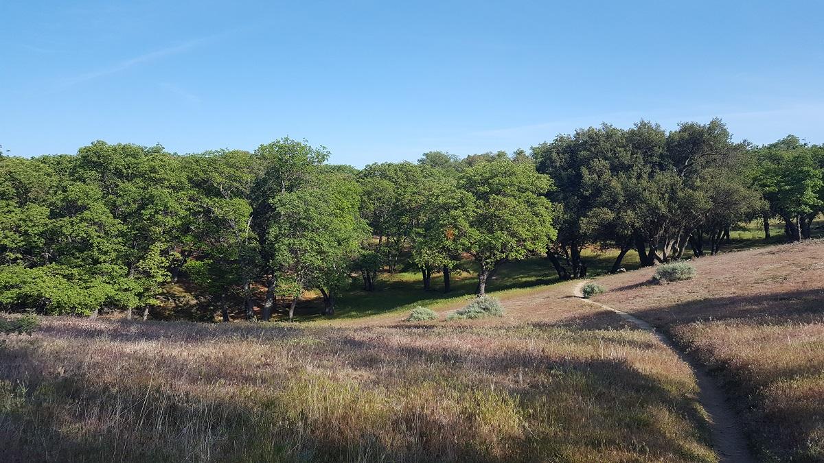 Très belle forêt de jeunes chênes