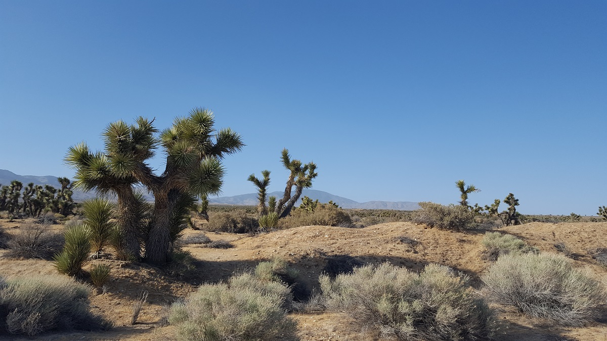 Arbres de Josué dans le désert - Joshua trees in the Mojave desert