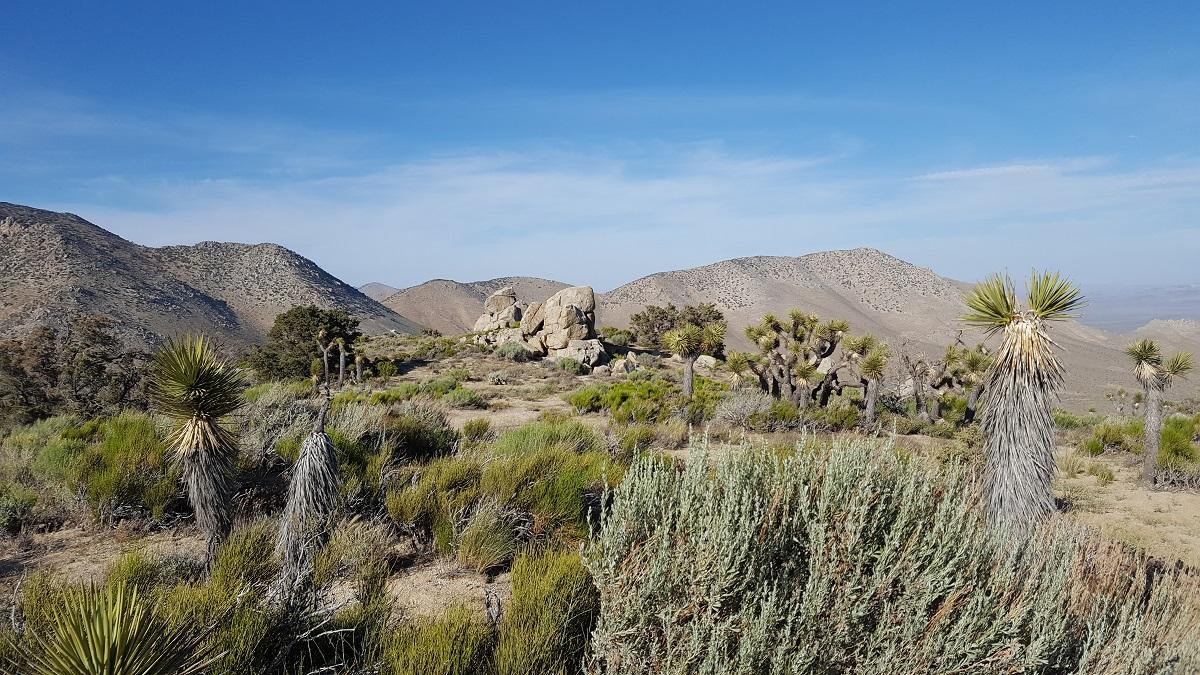 Plantes grasses et arbres de Josué, montagnes au loin sur fond de ciel bleu - Cactus and Joshua trees with mountains in the background against blue sky