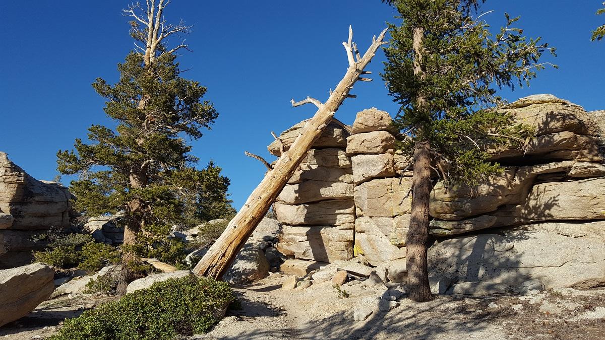 Arbre mort à-demi tombé sur le chemin - Dead tree half-fallen on the trail