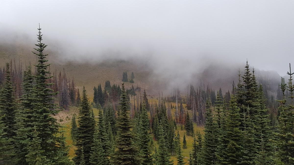 Forêt de sapins partiellement cachée par un épais brouillard - Fir tree forest partially hidden by heavy fog